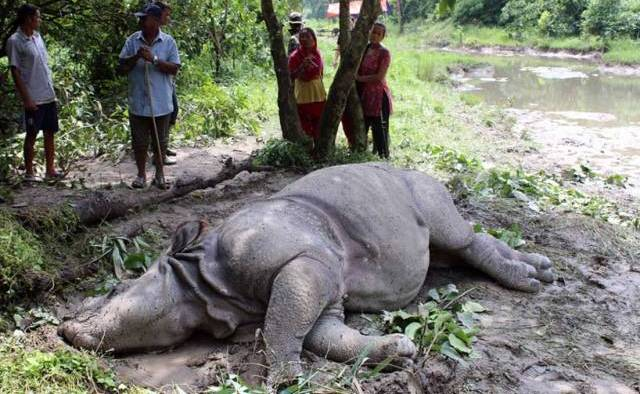 19 out of 41 dead rhinos found decomposed at Chitwan National Park