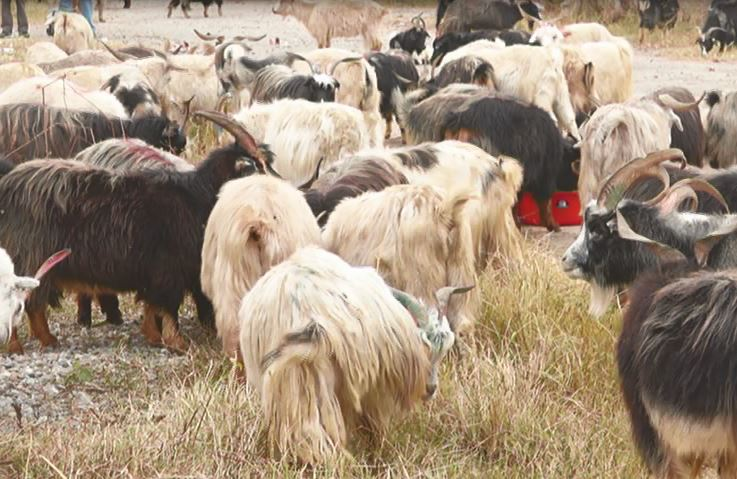 NFC begins sale of goats for Dashain