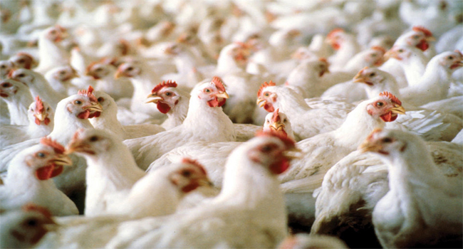 Illegally imported 5,000 chicken destroyed