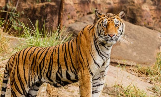 One killed in Royal Bengal tiger attack